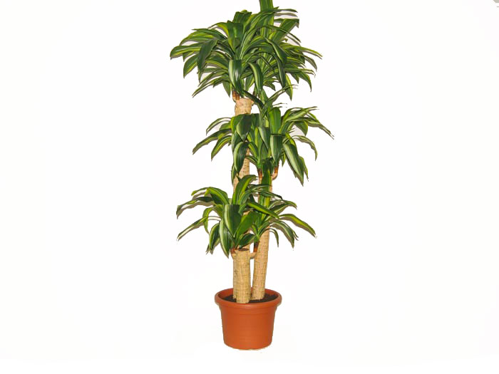 dracaena fragrans plants flowers dracaena fragrans a guide to house plants top 5 indoor plants. Black Bedroom Furniture Sets. Home Design Ideas