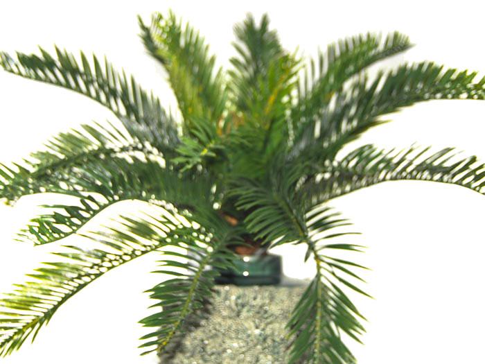 Cycas Plant - Fiorfiore