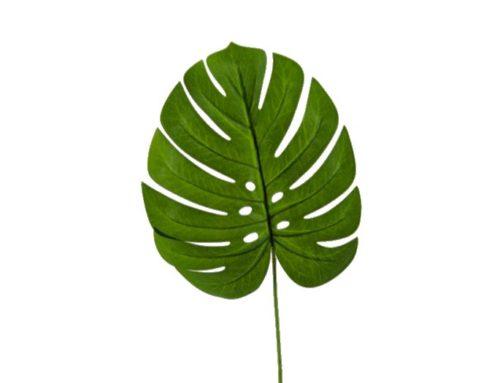 Leaf Monstera