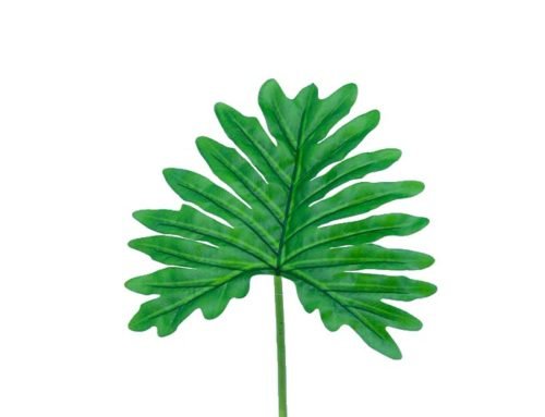 Leaf Philodendro