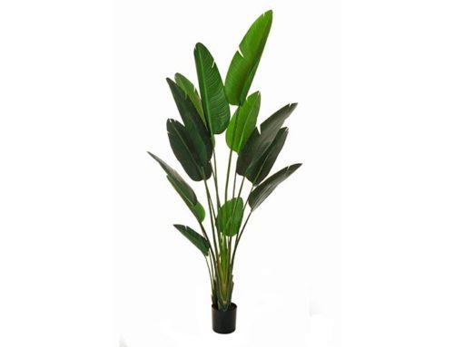 Sterlizia Plant